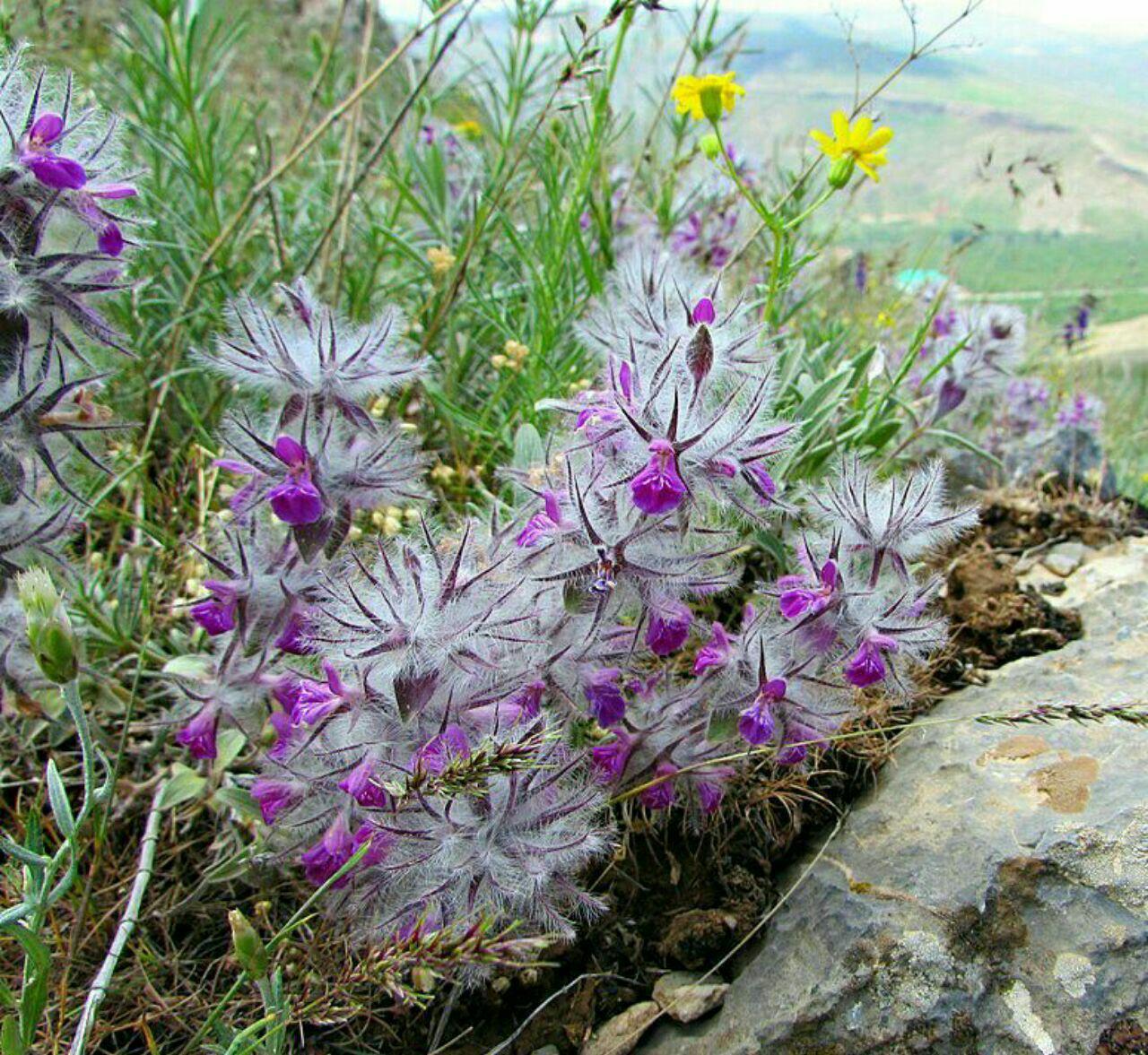 گیاهان دارویی در قاراقان