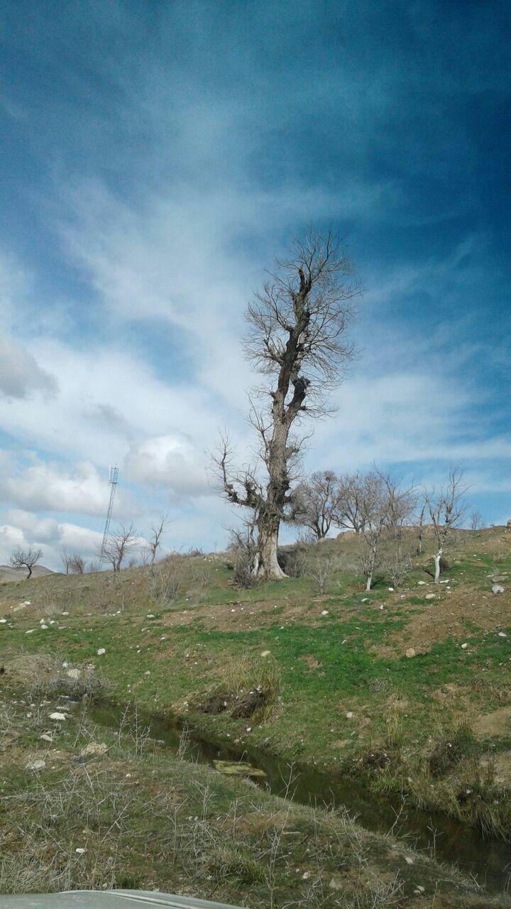 اخبار خرقان  کهن سال ترین درخت منطقه قاراقان